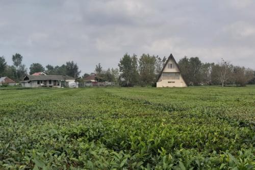 Чайная плантация в Лахиджане, Иран.