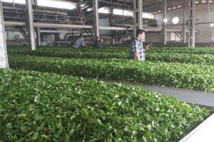 Чайная фабрика в Лахиджане, Иран.