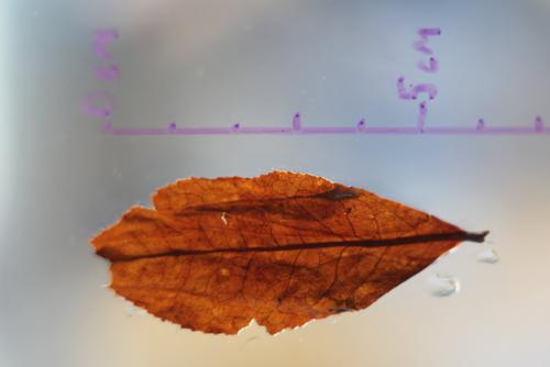 Выдержанный улун из Камелии формозской (Тайвань).