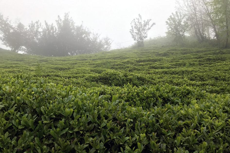 Чайные плантации в Ризе (Турция)