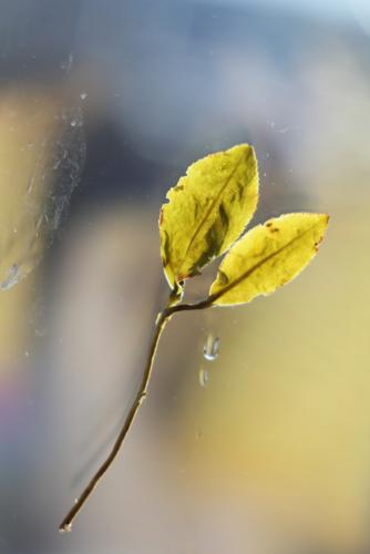 Слабоферментированный непрожаренный горный улун полусферической скрутки TTES#12 (Золотой цветок). Уезд Наньтоу, Тайвань.