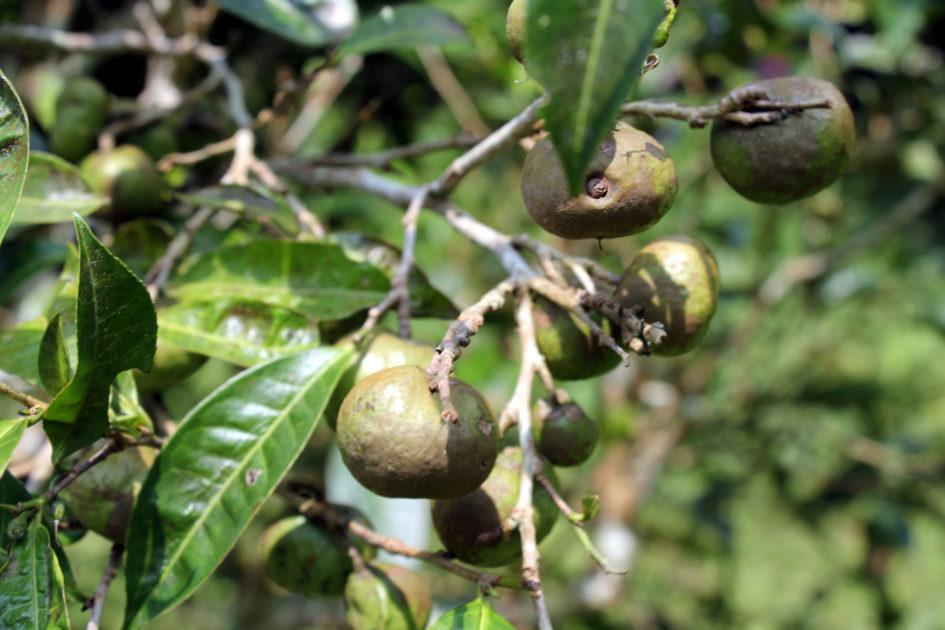Плоды чая. Север Вьетнама