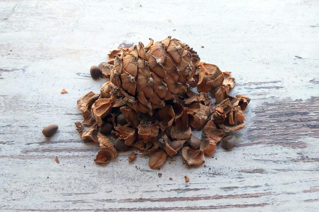 Шишка кедровой сибирской сосны. Орешки в еду, шелушки — в чай.