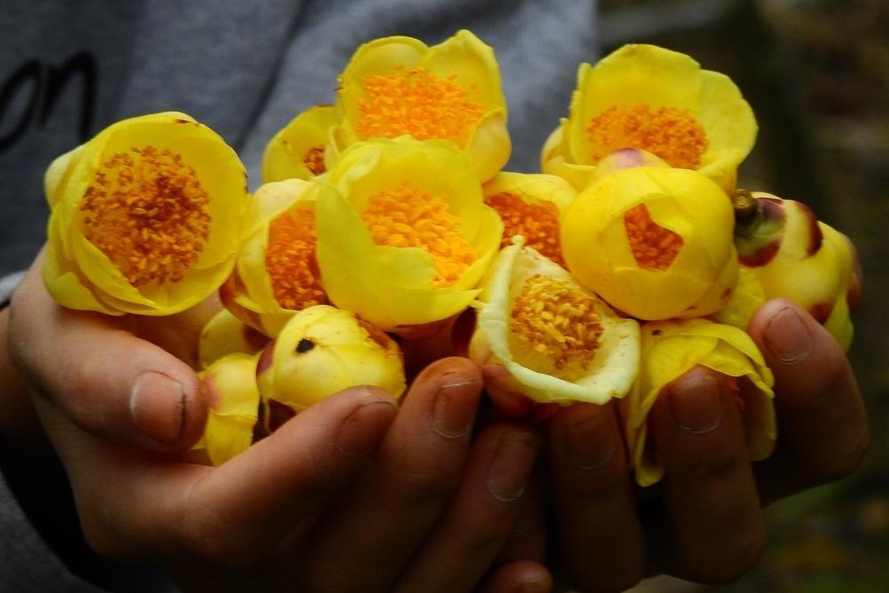 Цветы Camellia chrysantha. Фото: www.dongyvietnam.org