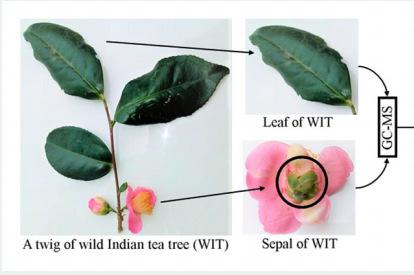 Листья и цветки одного из вариантов индийского дикого чая. Иллюстрация: doi.org/10.1080/14786419.2020.1851222