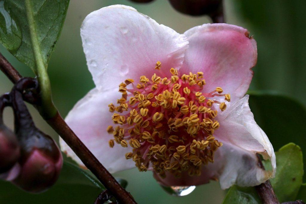 Цветок Camellia sinensis Rosea. Фото: camforest.com