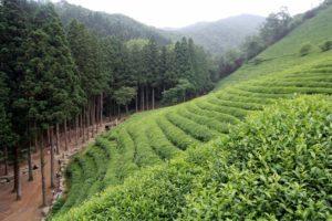 Чайные плантации в Посоне (Южная Корея). © Денис Шумаков