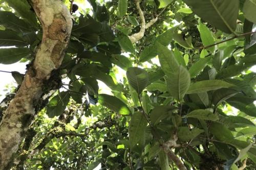 Чайное дерево в Нам Ти (Nậm Ty), Хазянг, Вьетнам. © Ольга Никандрова