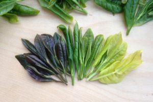 Вариации цвета чайного листа. Фотография: Антон Бехтер
