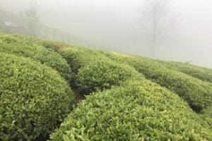 Чайные плантации в Ризе (Турция). © Ольга Никандрова