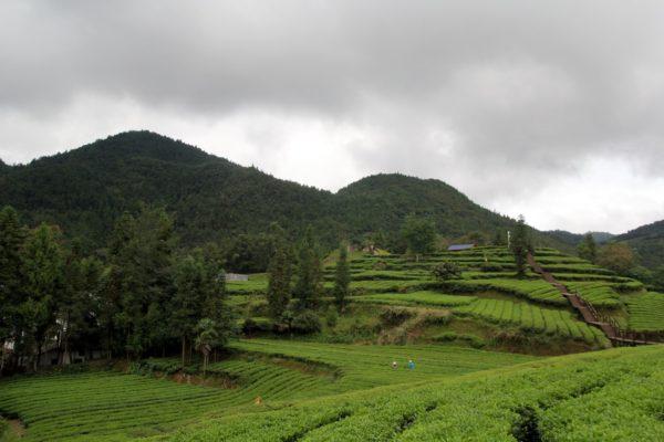 Чайные плантации в Хубэе